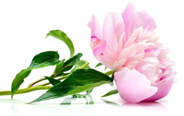 The pink peony on white background. Shallow DOF. Isolation